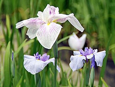 小田原_白と紫.jpg