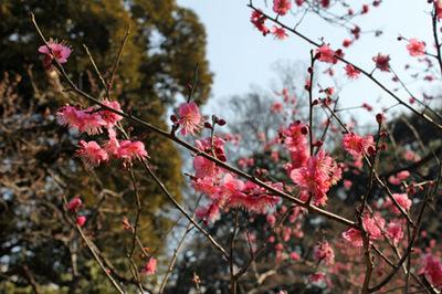 小石川紅梅の木.jpg