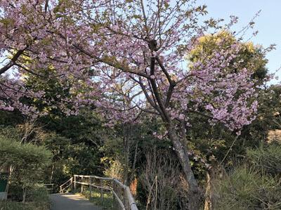 椿山荘さくら2.jpg