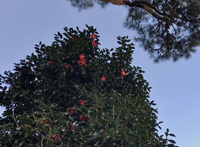 椿山荘椿の木.jpg